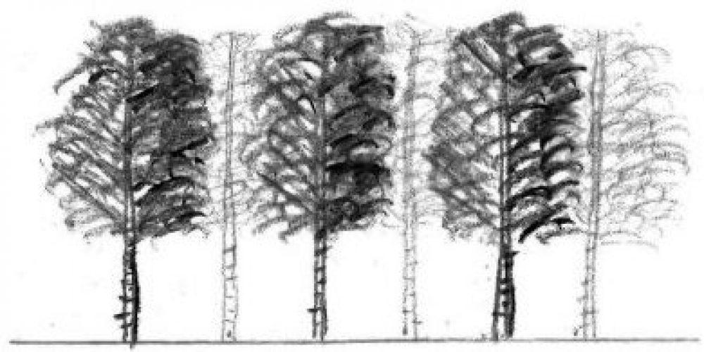 Betula pubescens - White Birch